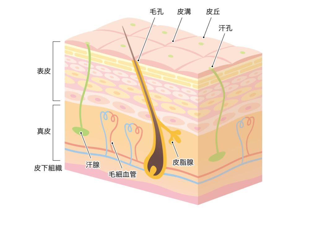 【メンズスキンケアの基本】肌の構造ってどうなってるの?